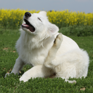 dry skin in dogs 1